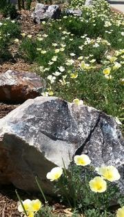White Poppy